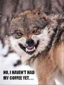 wolf with no coffee