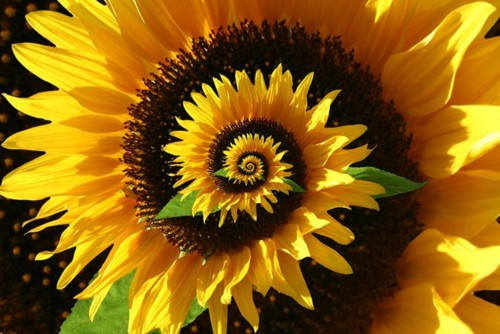 Spiraling-Sunflower